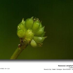 - Ranunculus omiophyllus Ten. [1830]