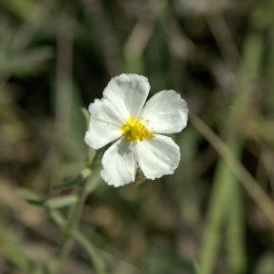 Photographie n°31834 du taxon Helianthemum apenninum (L.) Mill. [1768]