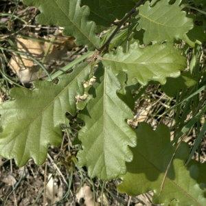 Photographie n°31844 du taxon Quercus pubescens Willd. [1805]