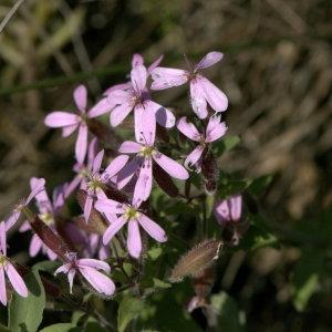 Photographie n°31848 du taxon Saponaria ocymoides L.