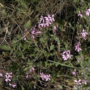 Photographie n°31851 du taxon Saponaria ocymoides L.