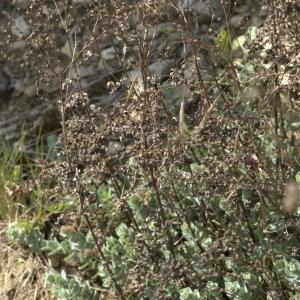 Photographie n°31921 du taxon Hypericum tomentosum L.
