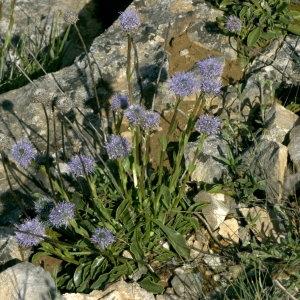 Photographie n°31938 du taxon Globularia vulgaris L.