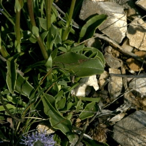 Photographie n°31939 du taxon Globularia vulgaris L.