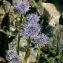 Jean-Pascal Milcent - Globularia vulgaris L.