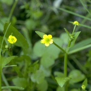 Photographie n°31955 du taxon Ranunculus ophioglossifolius Vill.