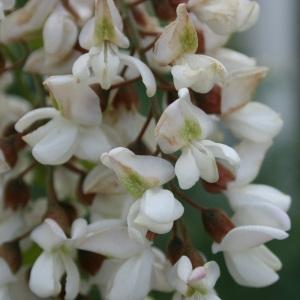 Photographie n°31981 du taxon Robinia pseudoacacia L.
