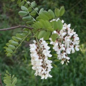 Photographie n°31984 du taxon Robinia pseudoacacia L.