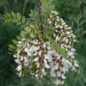 Photographie n°31985 du taxon Robinia pseudoacacia L.