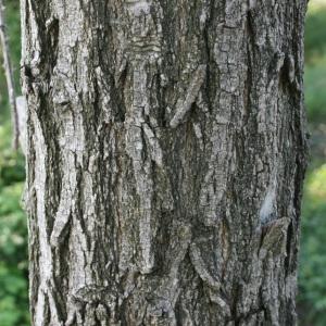Photographie n°31987 du taxon Robinia pseudoacacia L.