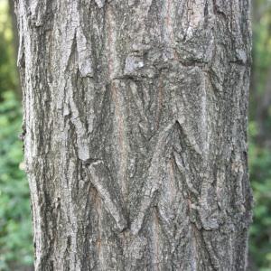 Photographie n°31988 du taxon Robinia pseudoacacia L.