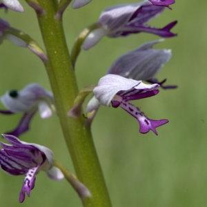 Photographie n°32136 du taxon Orchis militaris L.