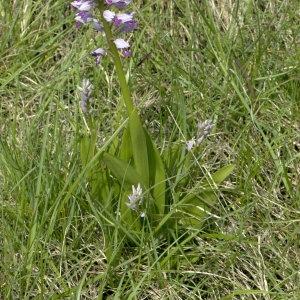 Photographie n°32138 du taxon Orchis militaris L.