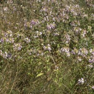 Photographie n°32172 du taxon Saponaria officinalis L. [1753]