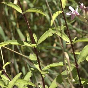 Photographie n°32174 du taxon Saponaria officinalis L. [1753]