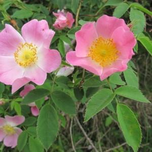 Rosa trachyphylla Rau (Églantier de Jundzill)