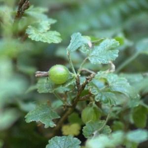 Photographie n°32207 du taxon Ribes uva-crispa L. [1753]