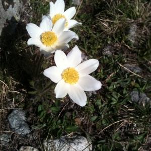 Photographie n°32217 du taxon Pulsatilla alpina (L.) Delarbre