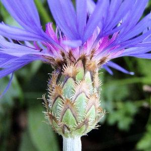 Photographie n°32226 du taxon Centaurea triumfetti subsp. lugdunensis (Jord.) Dostál [1976]