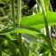 liliane Pessotto - Centaurea triumfetti subsp. lugdunensis (Jord.) Dostál [1976]
