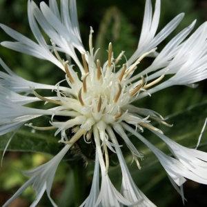 Cyanus lugdunensis (Jord.) Fourr. (Centaurée de Lyon)