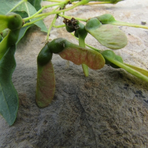 Photographie n°32252 du taxon Acer monspessulanum L. [1753]