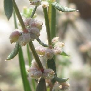 Galium verticillatum Danthoine ex Lam. (Gaillet verticillé)