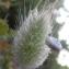 Marie  Portas - Lagurus ovatus L.