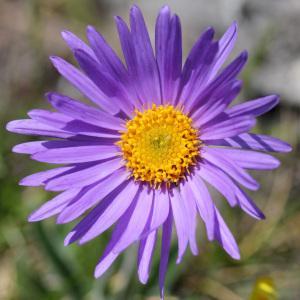 Aster alpinus var. cebennensis Braun-Blanq. (Aster des Causses)
