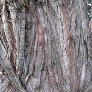 Photographie n°32471 du taxon Juniperus oxycedrus L.