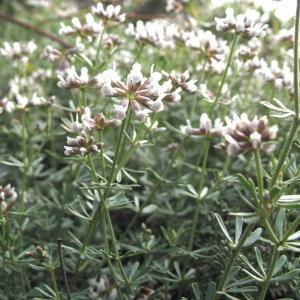Photographie n°32472 du taxon Dorycnium pentaphyllum Scop. [1772]