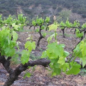 Photographie n°32480 du taxon Vitis vinifera subsp. vinifera