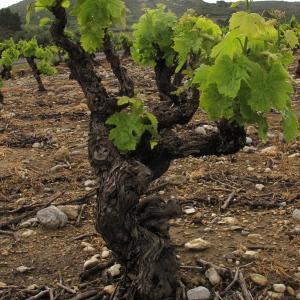 Photographie n°32489 du taxon Vitis vinifera subsp. vinifera
