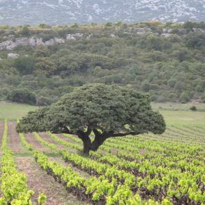 Photographie n°32503 du taxon Juniperus oxycedrus L.