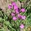 Valérie BRUNEAU-QUEREY - Dianthus deltoides L. [1753]