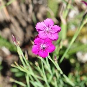Photographie n°32550 du taxon Dianthus deltoides L. [1753]