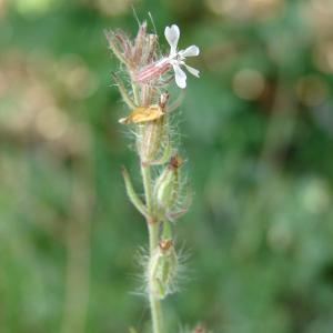 Photographie n°32554 du taxon Silene gallica L.