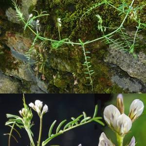 Photographie n°32571 du taxon Vicia hirsuta (L.) Gray [1821]