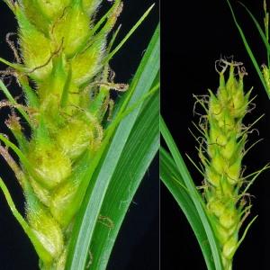 Photographie n°32572 du taxon Carex hirta L.