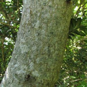 Photographie n°32581 du taxon Acer monspessulanum L. [1753]