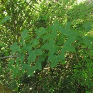 Photographie n°32582 du taxon Acer monspessulanum L. [1753]