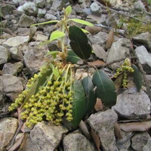 Photographie n°32593 du taxon Quercus ilex L. [1753]