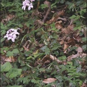 - Cardamine bulbifera (L.) Crantz [1769]