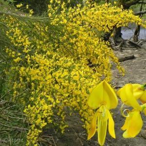 Cytisus scoparius (L.) Link subsp. scoparius f. scoparius