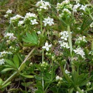 Photographie n°32694 du taxon Galium saxatile L.