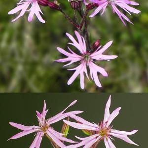 Photographie n°32696 du taxon Lychnis flos-cuculi L. [1753]