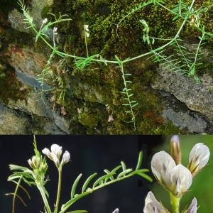 Photographie n°32701 du taxon Vicia hirsuta (L.) Gray [1821]