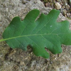 Photographie n°32735 du taxon Quercus pubescens Willd. [1805]