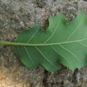 Photographie n°32736 du taxon Quercus pubescens Willd. [1805]
