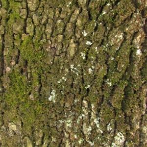 Photographie n°32748 du taxon Quercus ilex L. [1753]